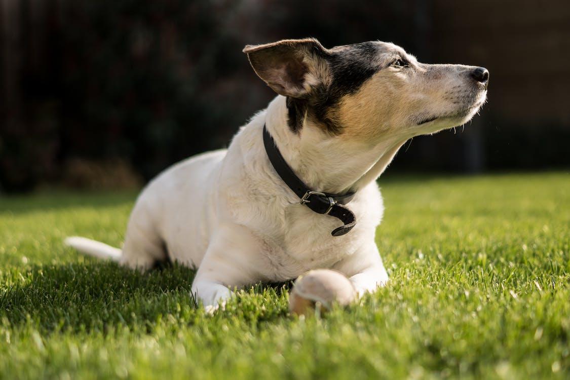 Short-coated White Dog Lying on Grass