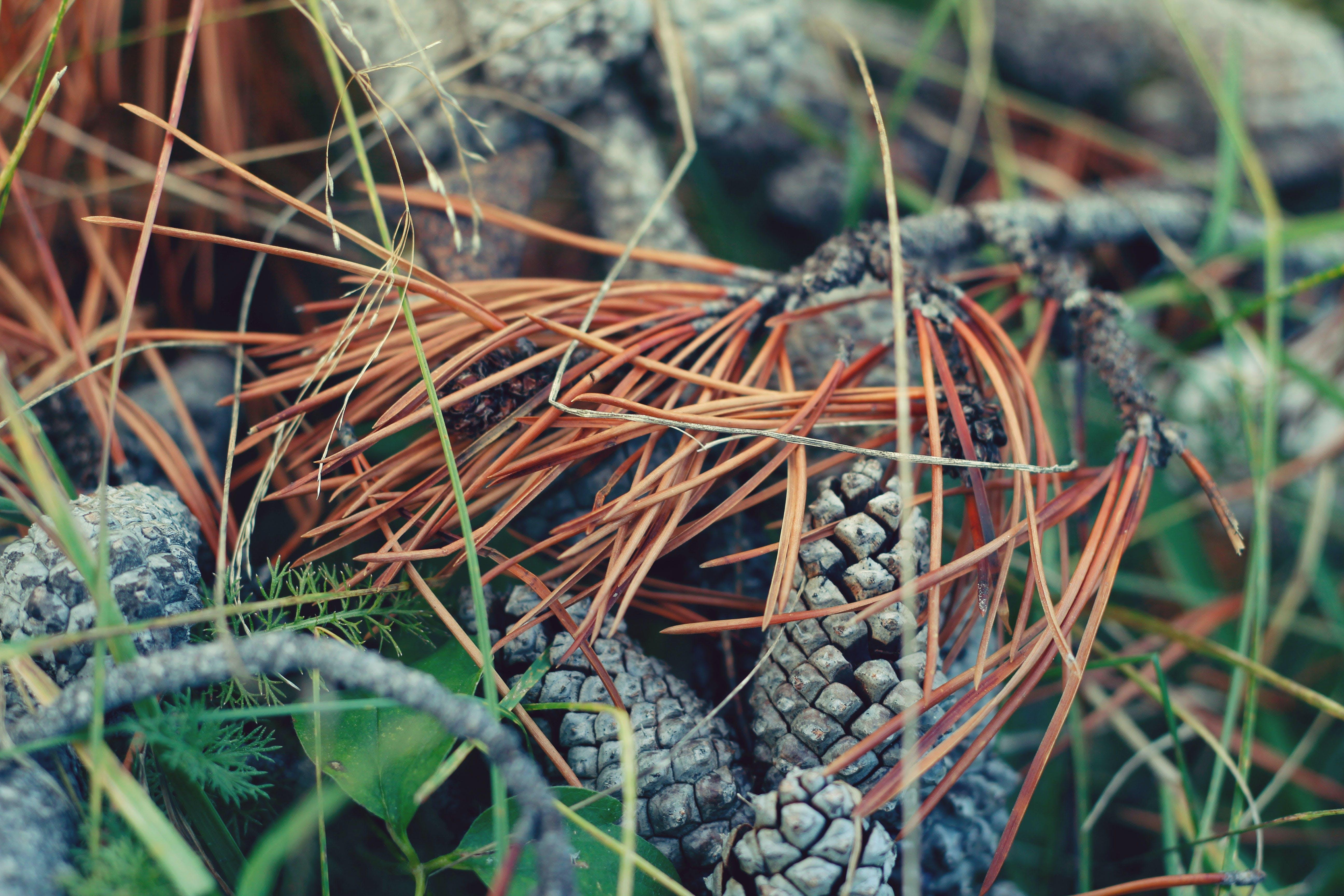 Free stock photo of pine cones