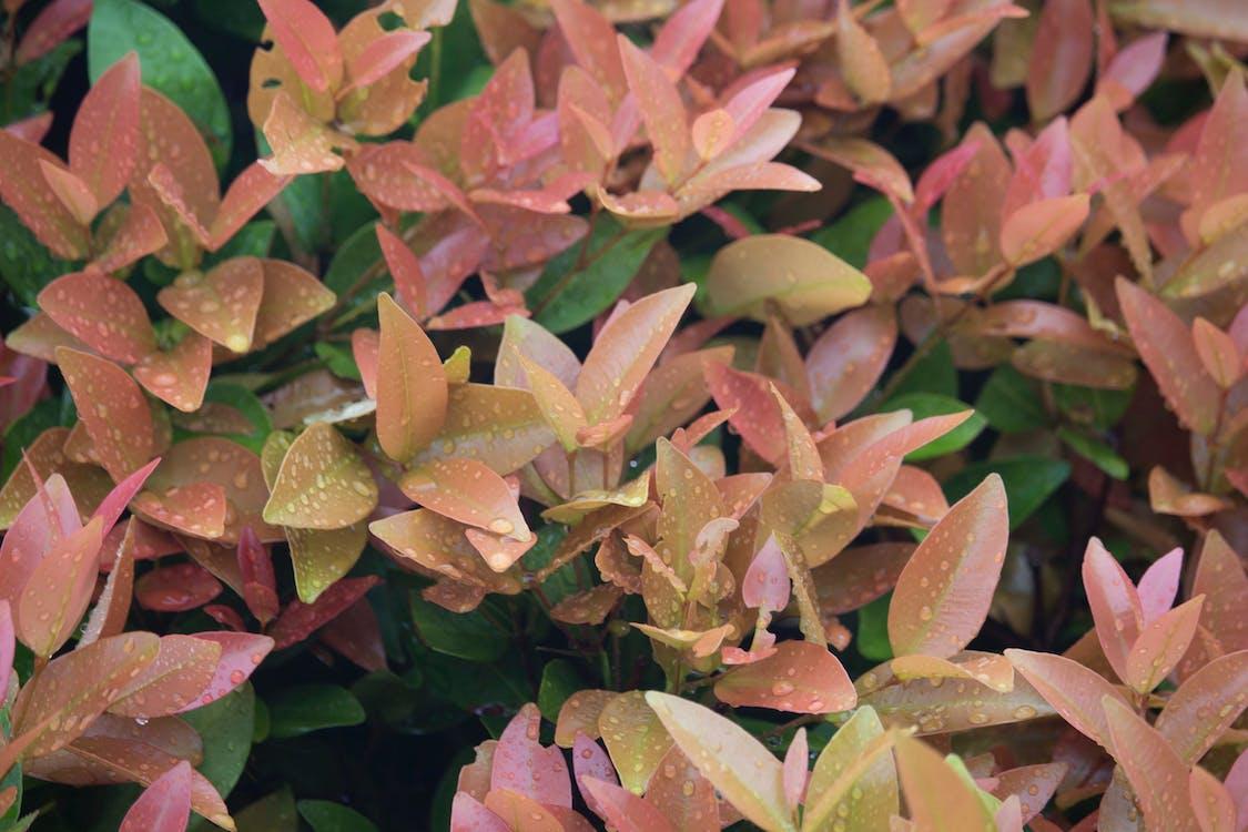 Gratis arkivbilde med blader, busk, eugenieplante