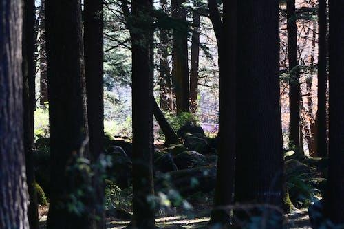 Foto d'estoc gratuïta de arbres, arbres alts, bosc, camí forestal