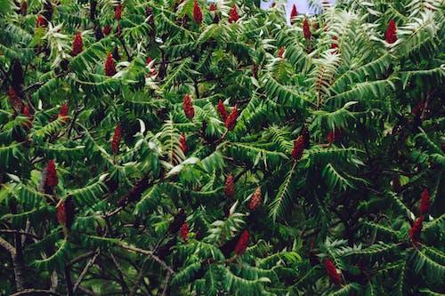 Безкоштовне стокове фото на тему «rhus typhina, staghorn сумах, дерево, заводи»