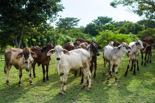 Gratis lagerfoto af bane, kalv, ko, køer