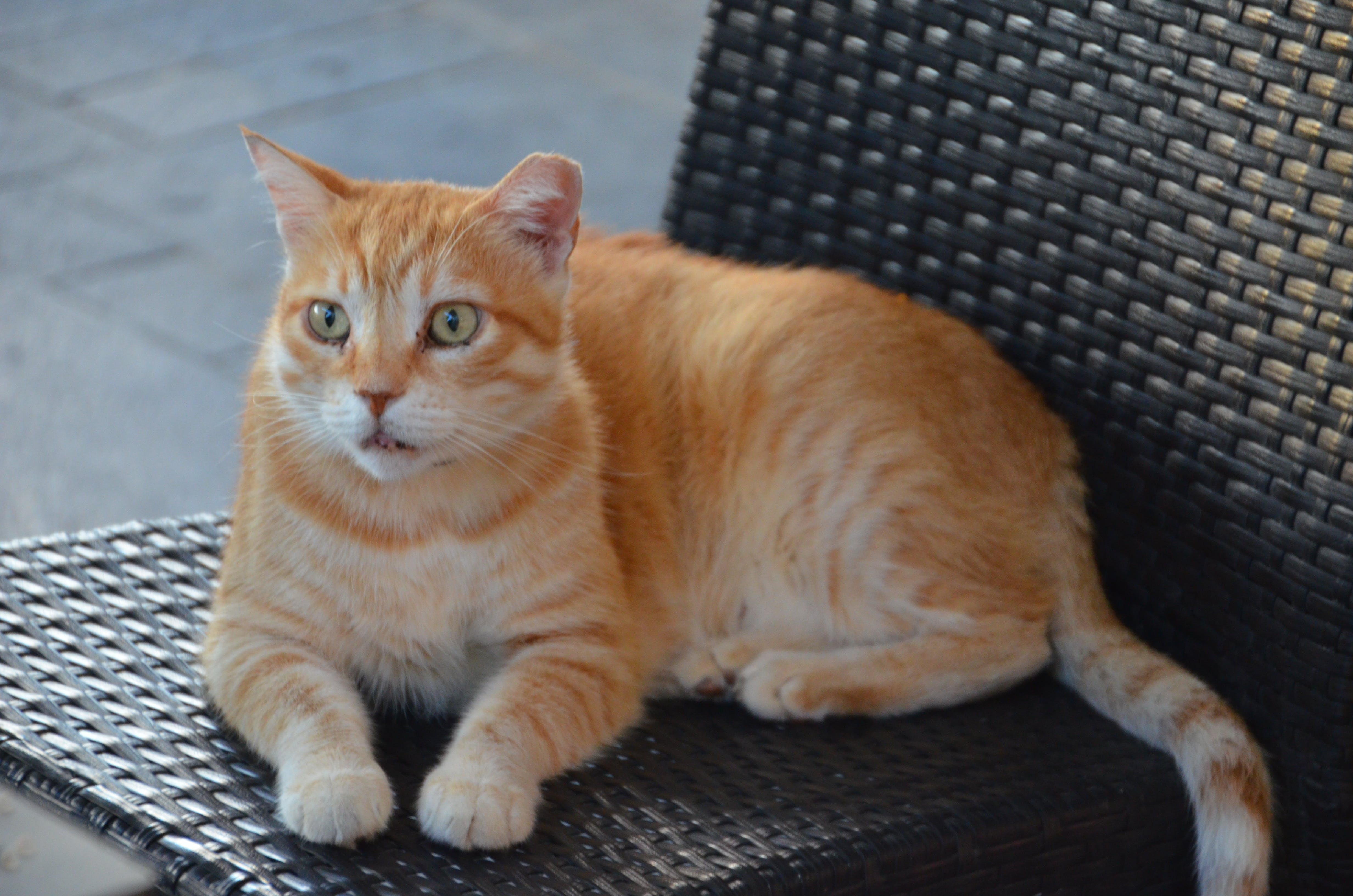 Free stock photo of cat, seat