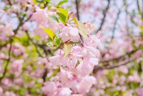 粉紅色, 花 的 免费素材照片
