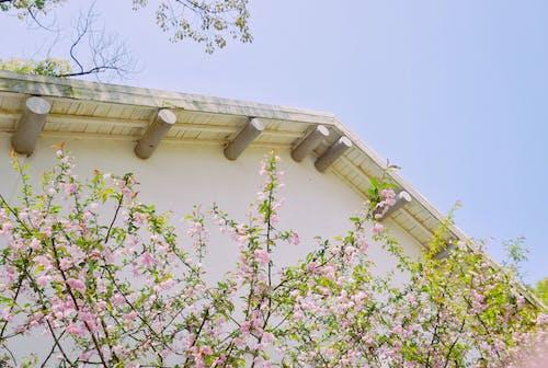 房屋, 粉紅色, 花 的 免费素材照片