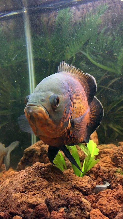 Gratis stockfoto met aquarium, oscarfish, vers water, vis