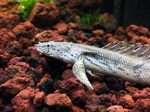 Gratis stockfoto met aquarium, bichir, dragonfish, endlicheri