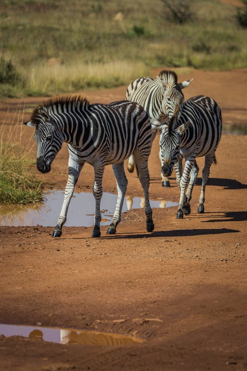 Fotos de stock gratuitas de animales, animales salvajes, cebras, Desierto