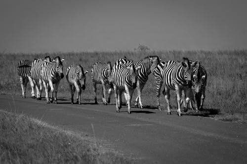 Grayscale Photography Of Herd Of Zebras