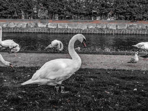 Kostnadsfri bild av b & w, djur, fågel, flod