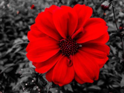 Kostnadsfri bild av b & w, blomma, dahlia, natur