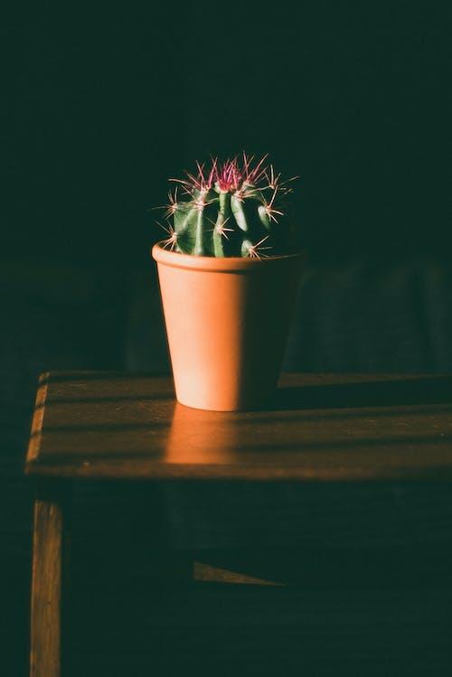 仙人掌, 廠, 植物 的 免費圖庫相片