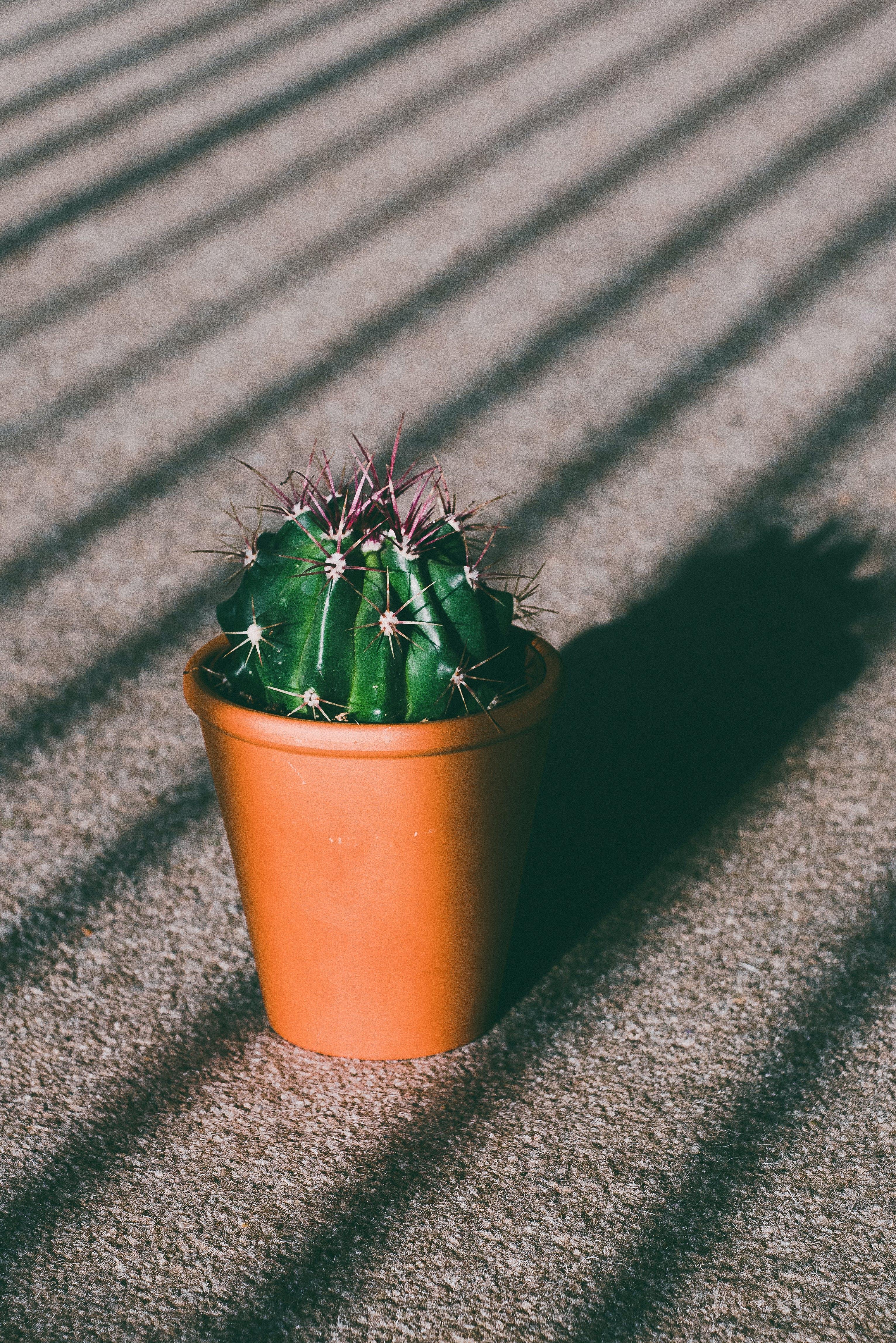 Foto d'estoc gratuïta de afilat, cactus, cassola, columnes vertebrals