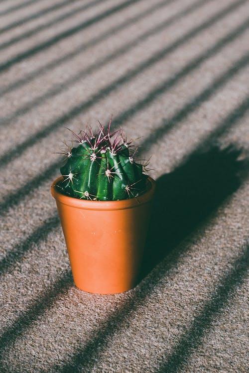 Gratis arkivbilde med akser, anlegg, gryte, kaktus