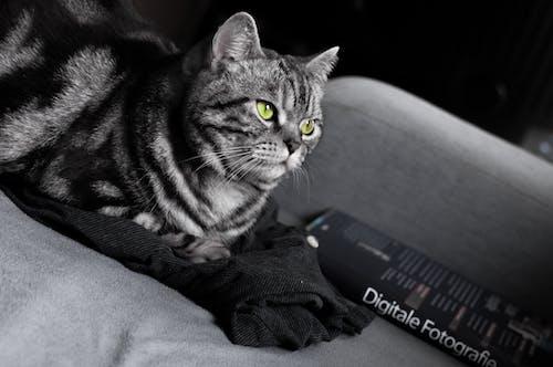 カール, グレー, ネコ, 動物の写真の無料の写真素材