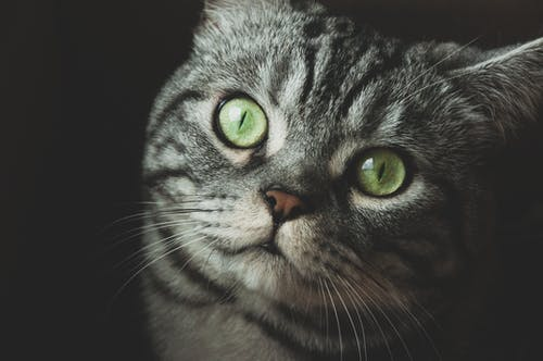 Základová fotografie zdarma na téma domácí mazlíček, domácí zvíře, hlava, kočka