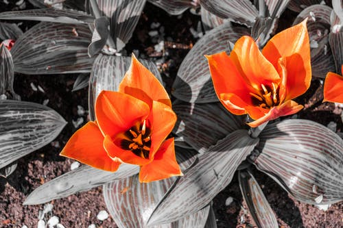 Free stock photo of black and white, flowers, orange, plant