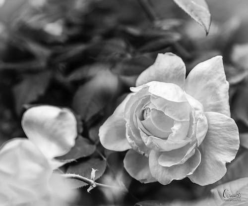 Free stock photo of black and white, flower, rose