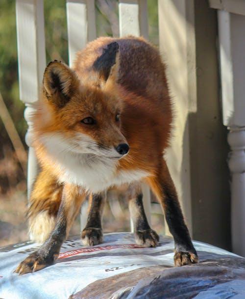 Fotobanka sbezplatnými fotkami na tému divočina, líška hrdzavá, pózovať