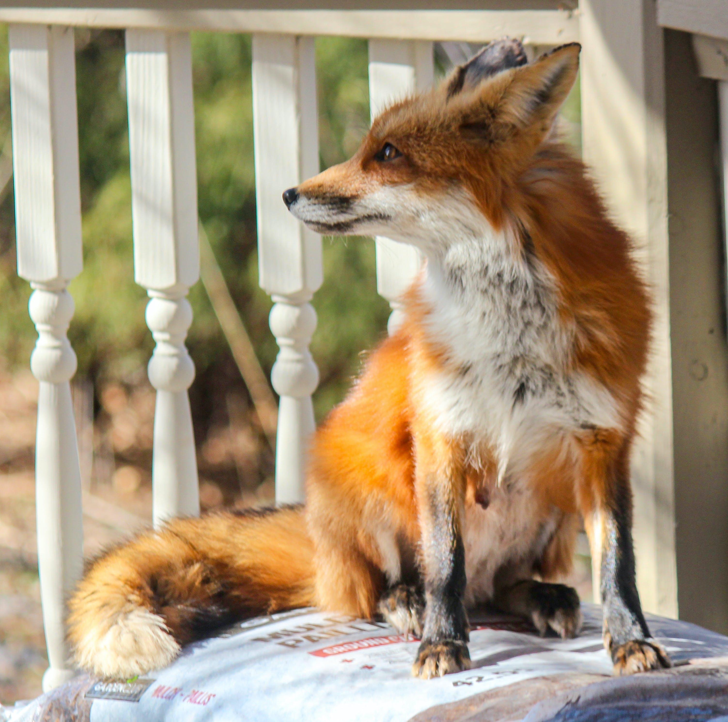 Foto profissional grátis de concentrado, raposa-vermelha