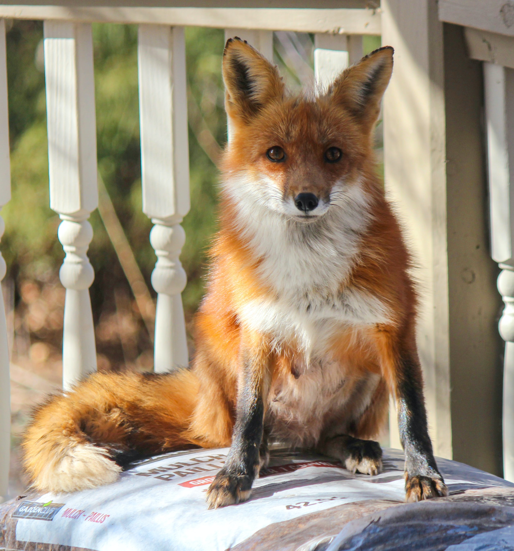 Foto profissional grátis de animais selvagens, olhar, raposa-vermelha