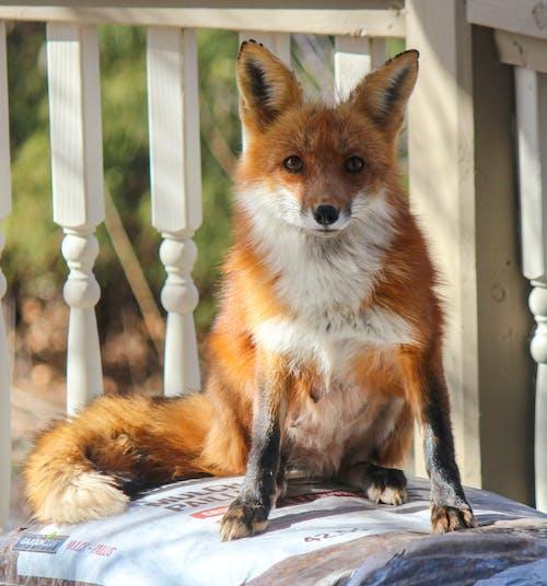 Fotobanka sbezplatnými fotkami na tému divočina, líška hrdzavá, vzhľad