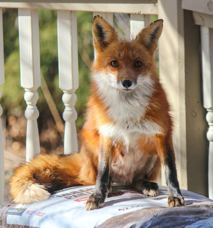 Free stock photo of look, red fox, wildlife