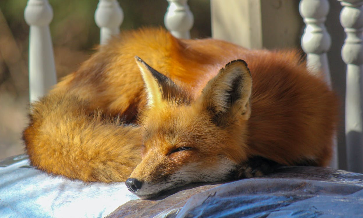 Close-Up Photo of Sleeping Fox