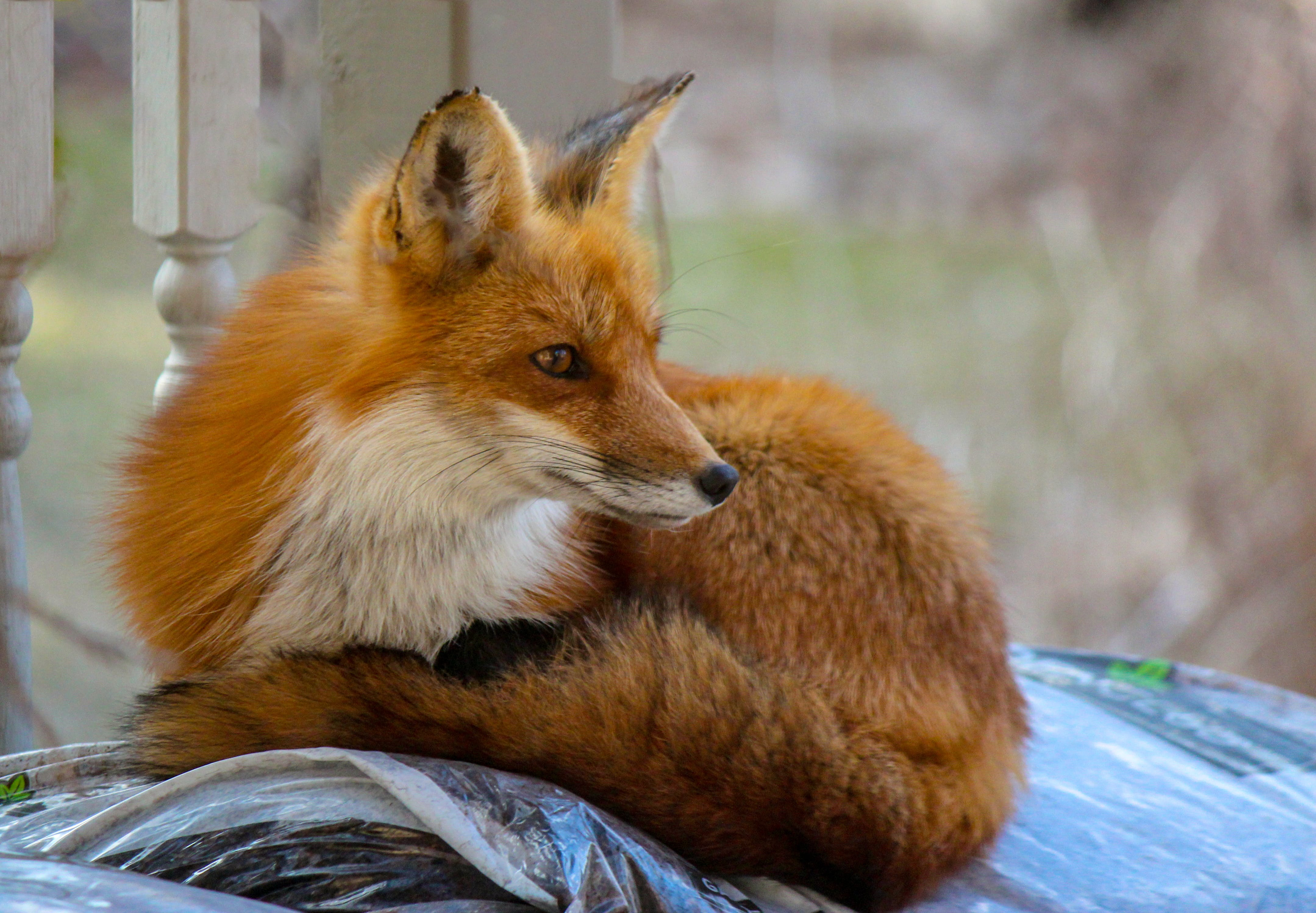 Foto profissional grátis de animais selvagens, concentração, red fio
