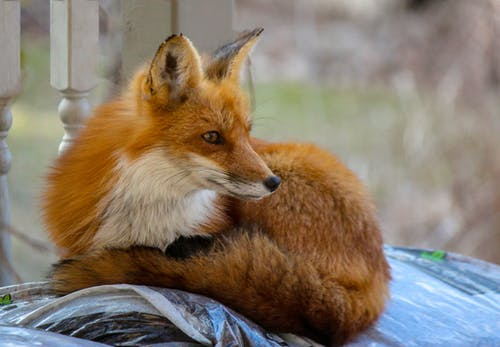 Free stock photo of focus, Red fiox, wildlife