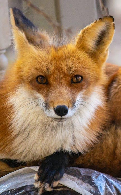 Free stock photo of animal portrait, foxy eyes, red fox