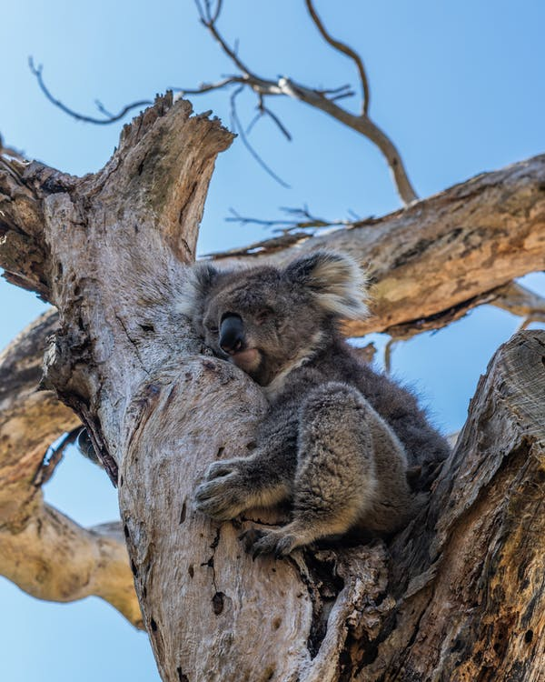 australia, berbulu, binatang