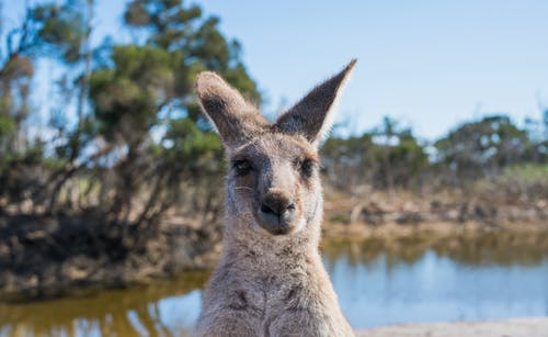 Shallow Focus Photo Of Kangaroo
