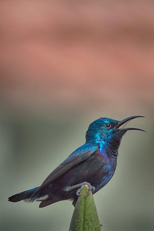 Ilmainen kuvapankkikuva tunnisteilla sininen, sunbird
