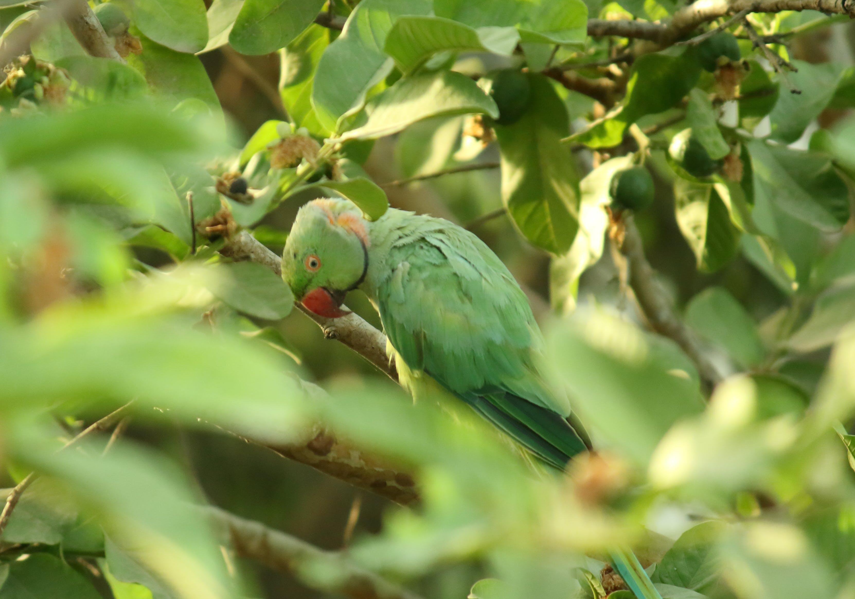Foto d'estoc gratuïta de #parrot #bird #birds #parrots #birdsofinstagram, #parrotsofinstagram #pet #animals #love #cute #ani, #petsofinstagram #parrotlover #macaw #cockatoo # in, #udaipur #greenery #parrot