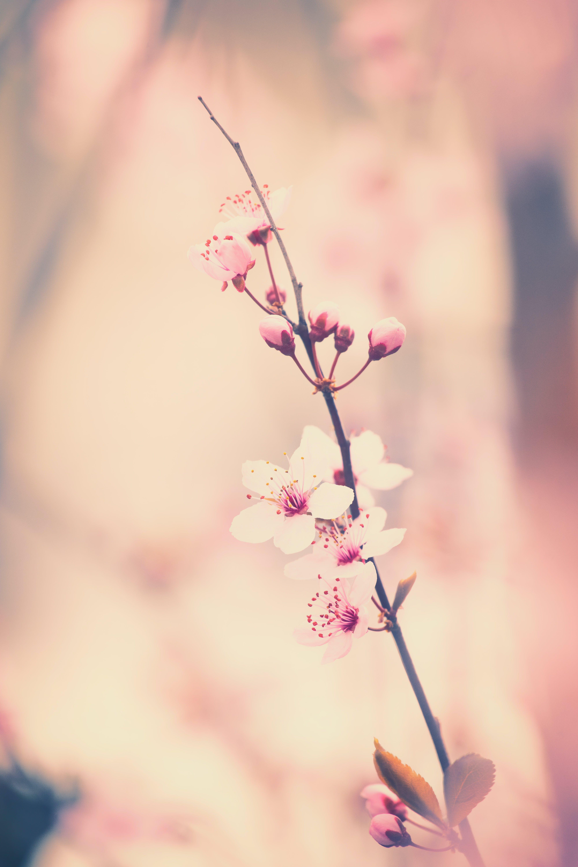 Kostenloses Stock Foto zu ast, blühen, blumen, blütenblätter