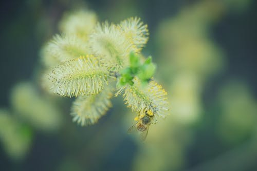 Free stock photo of bee, powder, spring