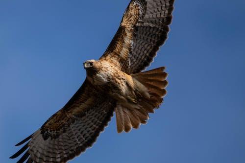 Free stock photo of bird, bird of prey, flying, hawk