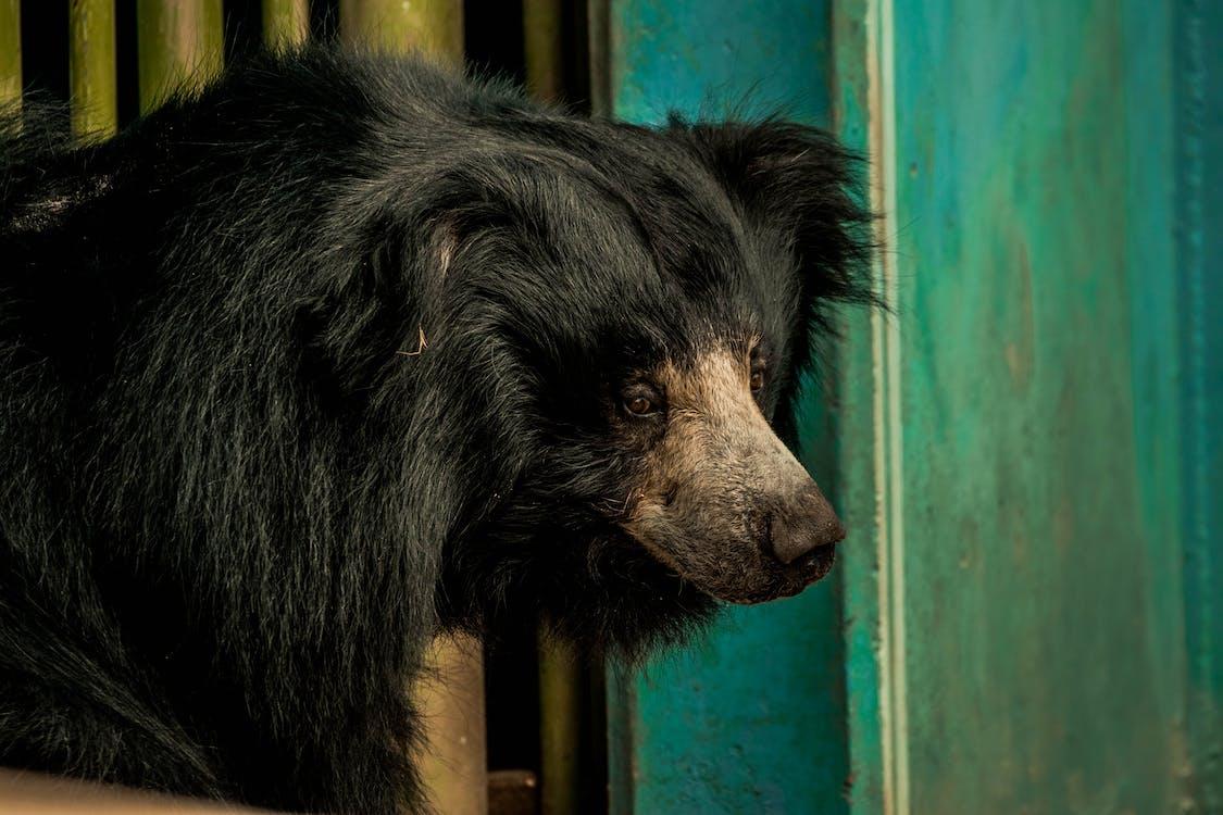 Close-up Photo of Black Sloth Bear