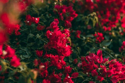 Darmowe zdjęcie z galerii z czerwone kwiaty, delikatny, kompozycja kwiatowa, kwiaty