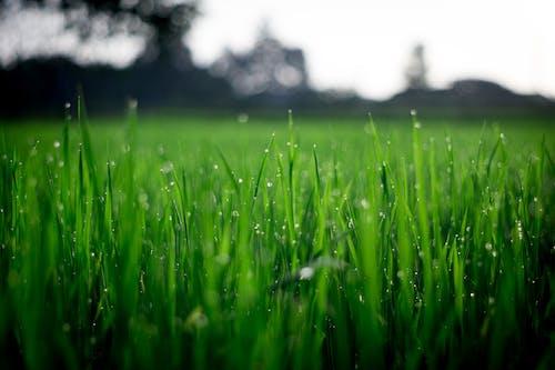 Ilmainen kuvapankkikuva tunnisteilla heinäpelto, kaste, kasvikunta, kasvu