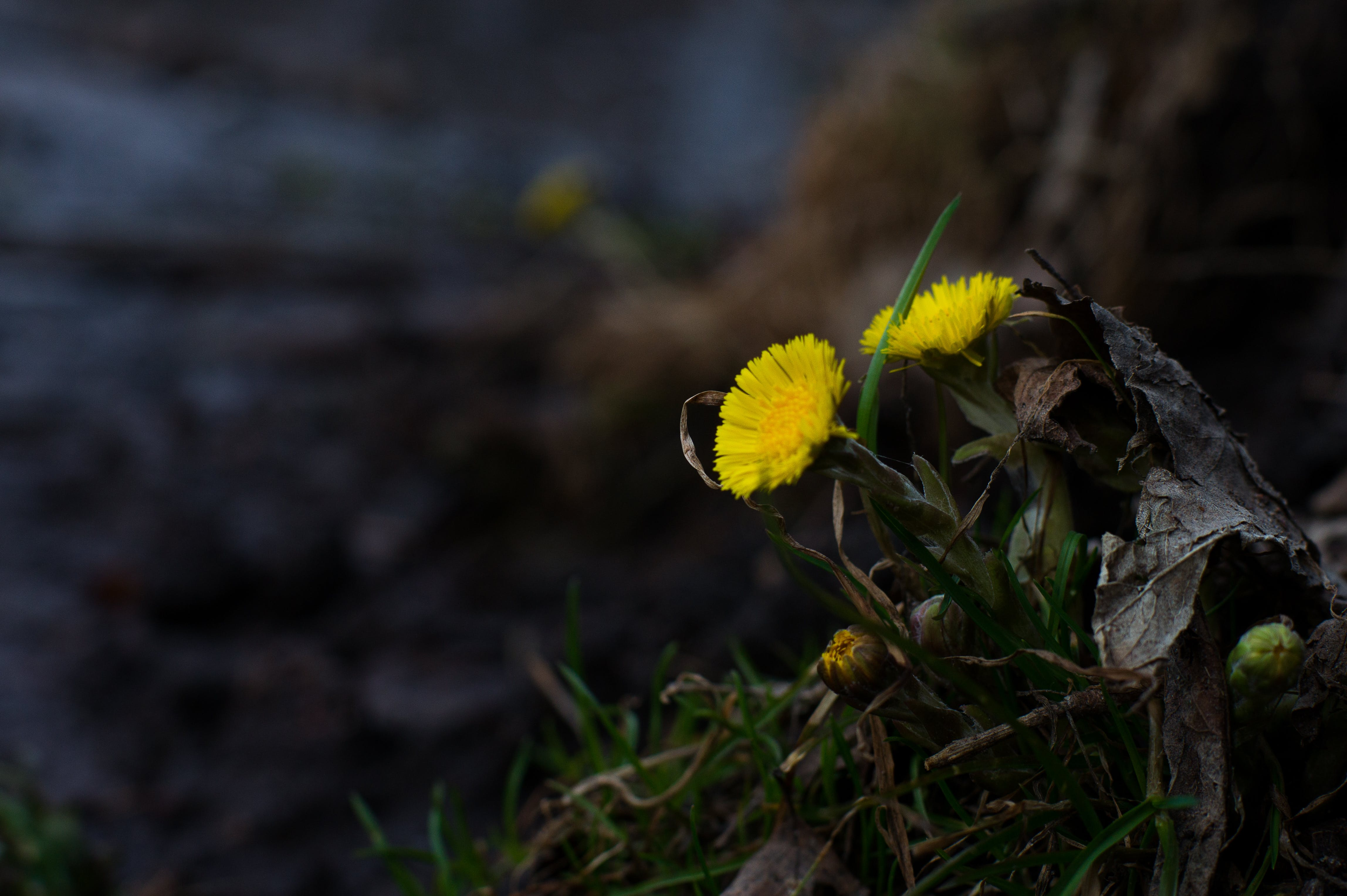 Free stock photo of dandelions, flowers, It's spring, park