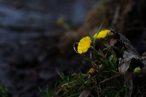 Foto stok gratis bunga-bunga, dandelion, ini musim semi, pantai