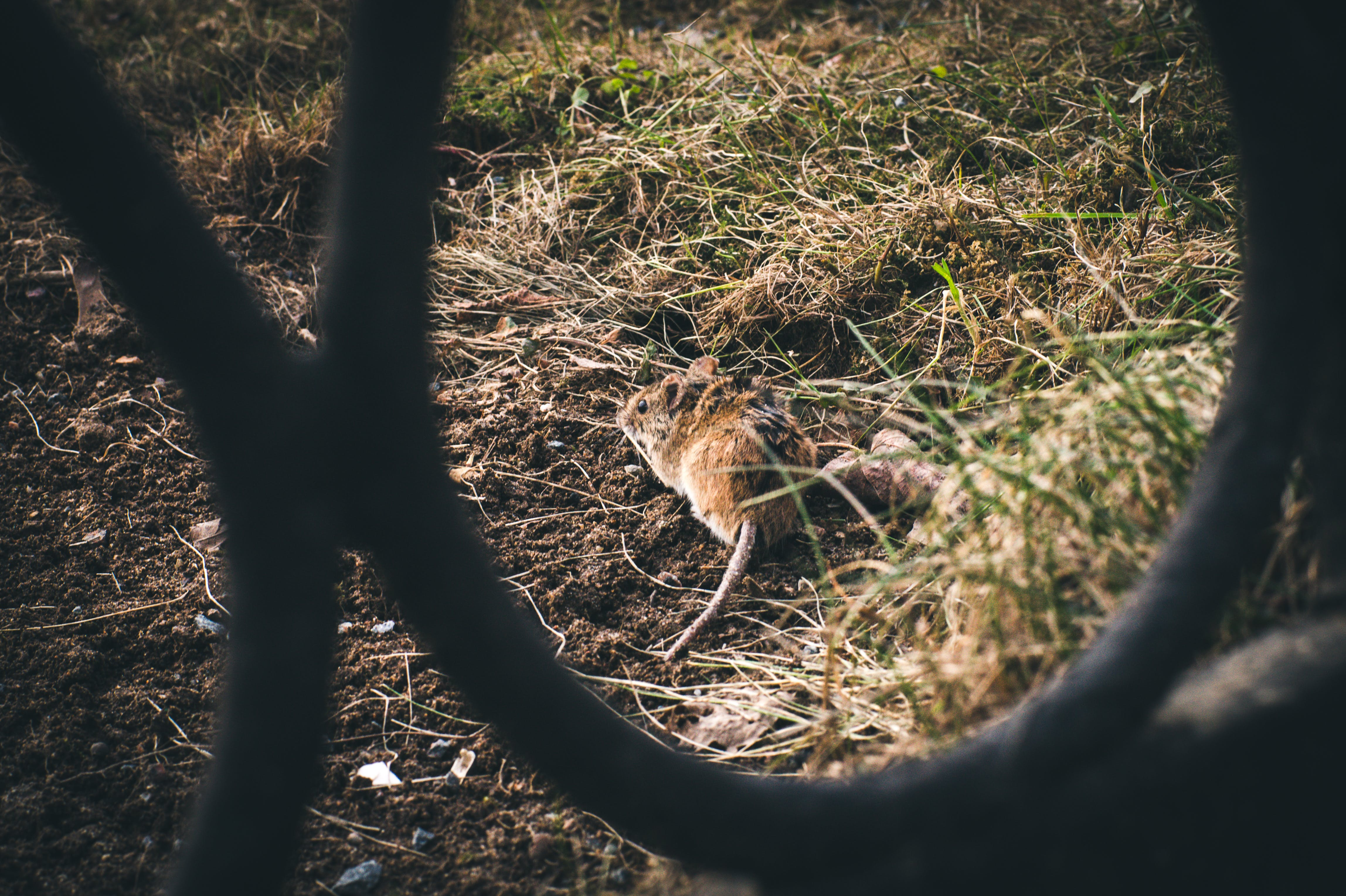 Free stock photo of fence, grass, light, mouse
