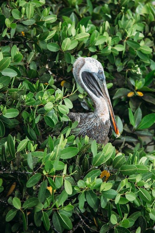 Белый пеликан рядом с растением
