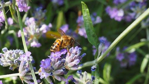 蜜蜂 的 免費圖庫相片