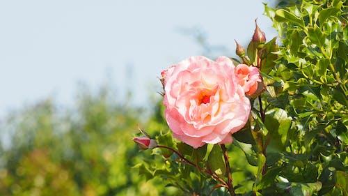 Foto profissional grátis de flor, flor cor-de-rosa, flor rosa