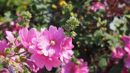 Foto profissional grátis de flores cor-de-rosa, flores rosa
