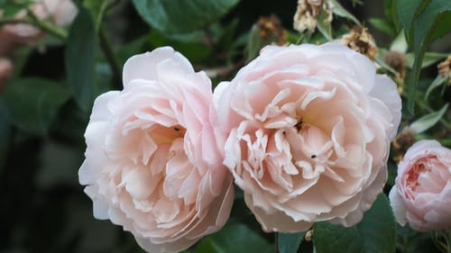 Základová fotografie zdarma na téma růžové růže