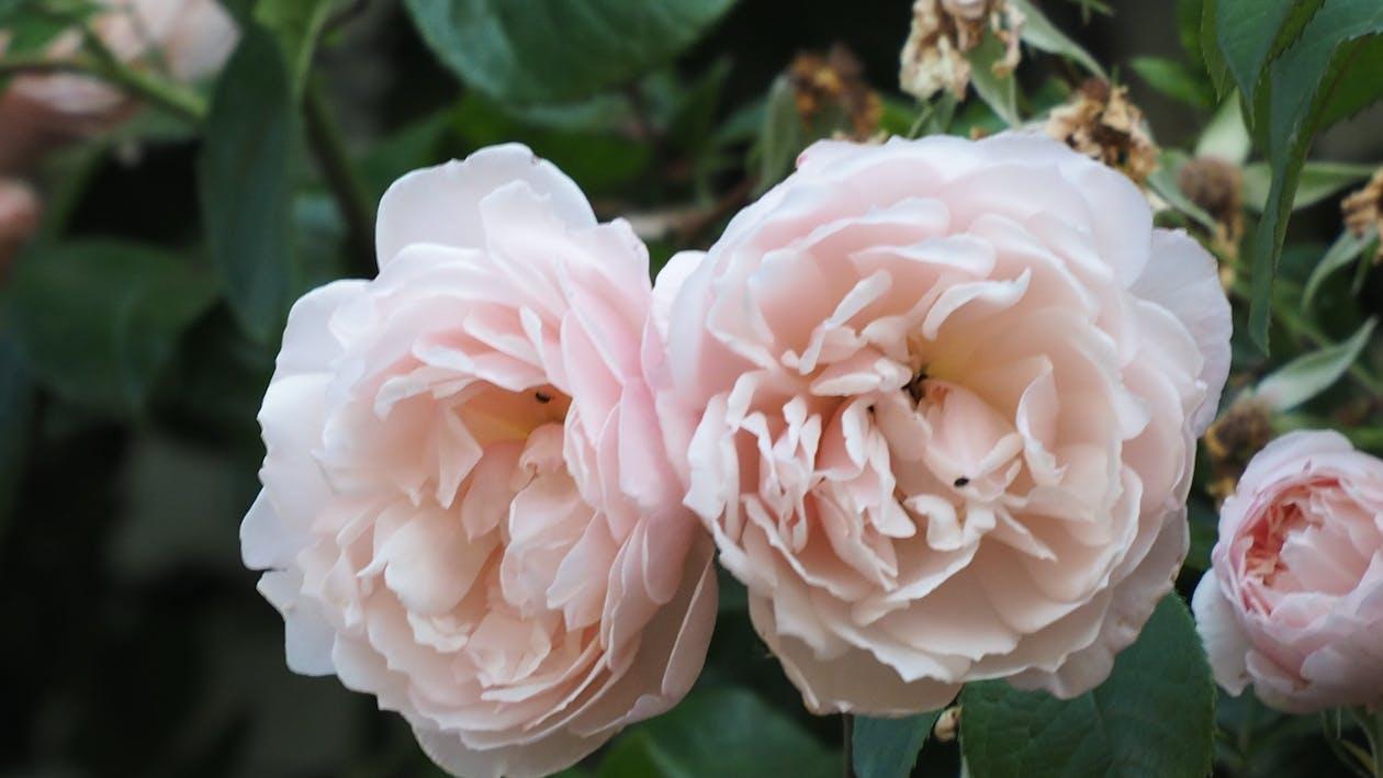 рожеві троянди